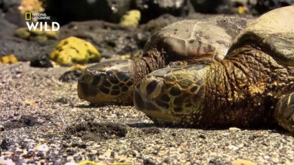 Ястребоклюна морска костенурка