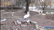 Пеликаните в Софийския зоопарк порозовяха