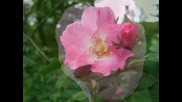 The Last Rose Of Summer - Andre Rieu