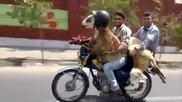 Така се возят двама човека и две овце на мотор! Смях!