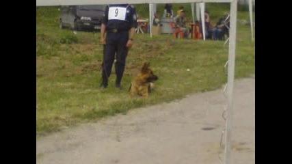 Състезание с полицейски ку4ета - немски ов4арки,  белгийска и холандска ов4арка