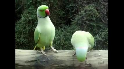 Папагали си говорят нежно! Смях!