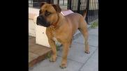 pitbul dog