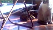 Костенурка напада котка