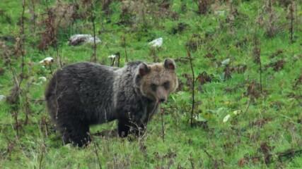 Възраждане на дивата Европа | кафявите апенински мечки