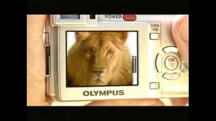 Olympus Safari Lion