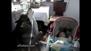 Хъски Пее За Да Спре Да Плаче бебето