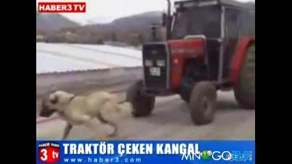 Куче тегли трактор