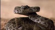 Змия срещу кукувица!