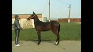 Horses - Ахалтекин