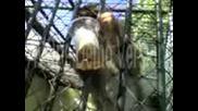 Маймуни Пият Бира
