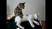 Котенце прави масаж на друго котенце :d