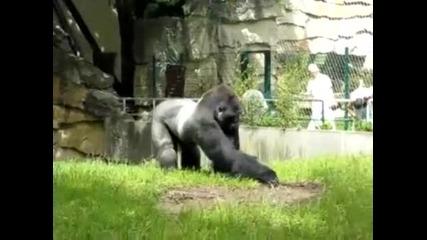 Не ядосвайте горилата ,опасно е! Смях!