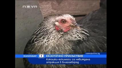 Кокошки–ескимоси в Благоевград
