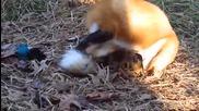 Лисичка си гони опашката