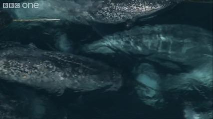 Арктични еднорози