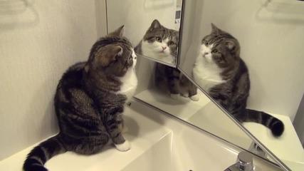 Котето Мару се оглежда в огледалото