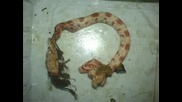 Паяк Яде Змия