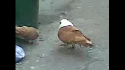 Чирпански Гълъби На Гошо От Гр Любимец