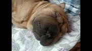 Куче Спи Като Кралски Поданик И Хърка