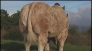 Бик от порода Charolais