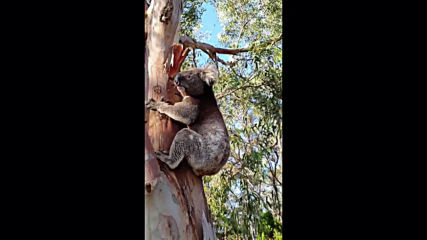 'Happy' the koala released back into wild after being hit by car in South Australia