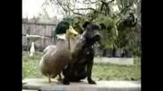 Патка И Куче