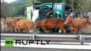 Франция: Камион превозващ добитък се преобърна във френските Алпи