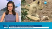 Лъвица се грижи за малка антилопа
