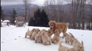Майка голдън ритрийвър играе с кученцата си