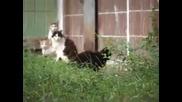плъх атакува стадо от котки смях
