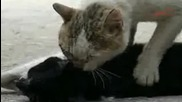 котка дава сърдечен масаж на пострадало приятелче