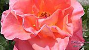 Есенни рози авторски