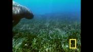 Dugongs Срещу Тигрова Акула