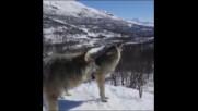 Вой на вълци
