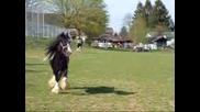 Horses*  Gipsy Vanner *