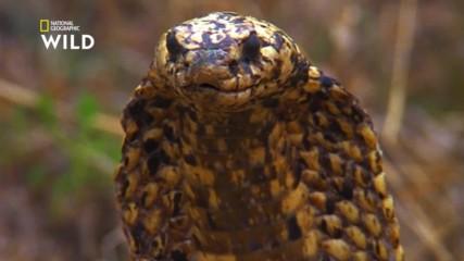 Kапската кобра