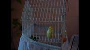 Моето канарче Хосе пее !
