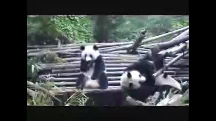 Панда шмърка кокаин голям смях