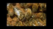 Silence of the Bees - Inside the Hive Pbs