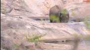 Майка слоница спасява своето малко от удавяне!