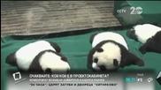 Панди-тризнаци навършиха 100 дни
