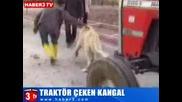 Най - голямото и мощно куче в света тегли трактор без проблем !