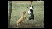 Инати пидбули се борят за въжето