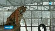 В Русия се появи пеещ тигър