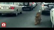 Тигър се движи необезпокоявано между автомобили при задръстване на магистрала