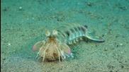 Mantis shrimp - Опасен и красив!