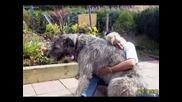 най - голямото куче на света (рекордите на гинес)