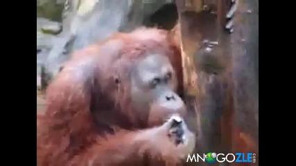 Маймуна се напушва