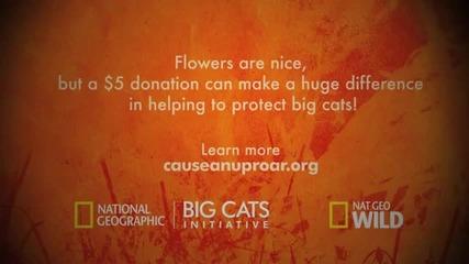 Big Cats Love - Jaguar